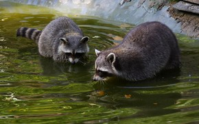 Picture water, bathing, pair, raccoon, two, pond, raccoons, two raccoons