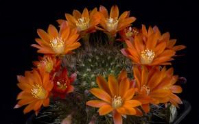 Picture cactus, black background, flowering cactus