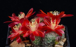 Picture Flowers, Cacti, Cactus, Red flowers, Barb