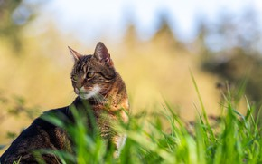 Picture cat, grass, cat, look, face, nature, grey, background, portrait, striped, bokeh