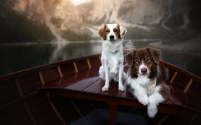 Picture dogs, boat, a couple, two dogs, in the boat