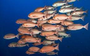 Picture fish, scales, shoal