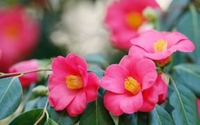Picture leaves, pink, petals, trio, Camellia