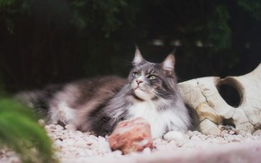 Picture cat, cat, look, face, nature, pose, pebbles, the dark background, stones, grey, lies, Maine Coon