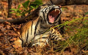 Picture nature, tiger, pose, mouth, roar
