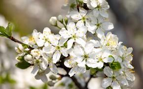 Picture flowers, spring, flowering tree, white flowers, flowering branch