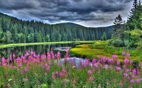 Wallpaper forest, summer, Ivan-tea, lake, Germany, Baden-Württemberg, Germany, Baden-Württemberg, flowers