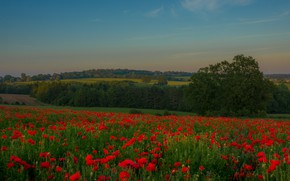 Picture field, forest, summer, the sky, trees, flowers, Maki, the evening, meadow, red, al, poppy field