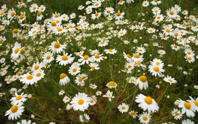 Picture summer, chamomile, meadow, field, a lot