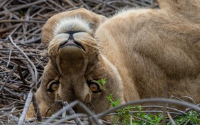 Picture nature, lioness, dry grass