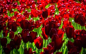Picture field, light, flowers, red, green, glade, bright, spring, contrast, tulips, red, buds, flowerbed, al, a …