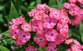 Picture flowers, Phlox, pink Phlox