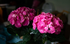 Picture leaves, flowers, the dark background, pink, Duo, hydrangea