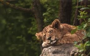Picture nature, pose, background, sleep, Leo, sleeping, lion, lion