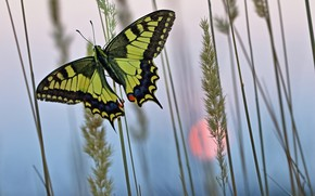 Picture grass, nature, dawn, butterfly, morning, insect