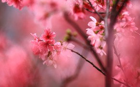 Picture flowers, branches, cherry, background, spring, Sakura, pink, flowers, flowering, aroma, spring