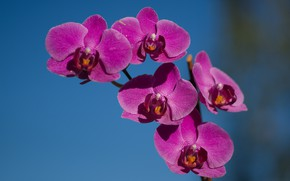 Picture flower, the sky, nature, Orchid