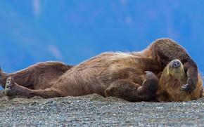 Picture Alaska, bear, grizzly, National wildlife refuge lake Clark, USA