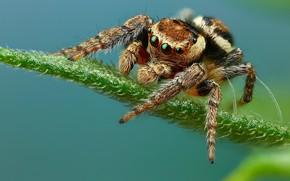 Picture look, pose, leaf, spider, blue background, jumper, jumper, spider, Bouncing