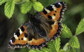 Picture butterfly, black, antennae