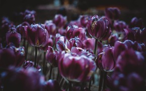 Picture Flowers, Purple, Beautiful, Flowers, Blur, Flora, Blooming, Flora, Close-Up, by TheGlory, Maroon Flowers, TheGlory