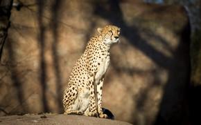 Picture light, stones, Cheetah, shadows, sitting