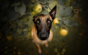 Picture look, apples, dog