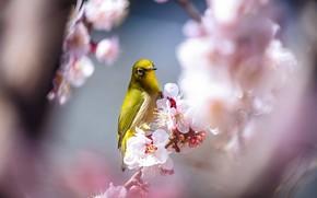 Picture light, flowers, branches, bird, beauty, blur, spring, Sakura, bird, flowering, yellow, bokeh, Japanese white-eye, bird
