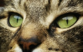 Picture wallpaper, green eyes, animals, eyes, cat, face, cats, look, muzzle, striped, 4k ultra hd background
