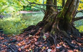 Picture autumn, forest, trees, branches, nature, roots, lake, pond, tree, shore, foliage, trunk, falling leaves, pond