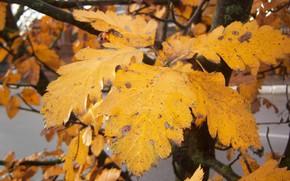 Picture autumn, leaves, yellow, Meduzanol ©