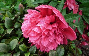 Picture leaves, drops, peonies