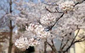 Picture flowers, branches, cherry, spring, garden, Sakura, white, flowering, a lot, bokeh, in bloom