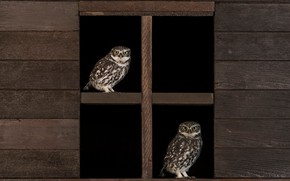 Picture owls, owls, window, owl, a couple, pair, birds, Board, Duo, two, black background, owl