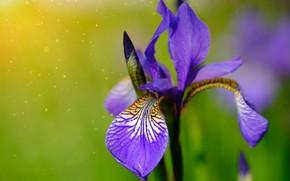 Picture close-up, blurred background, purple iris