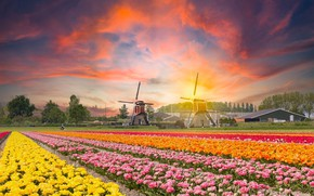 Picture field, sunset, flowers, tulips, mill, Netherlands, plantation