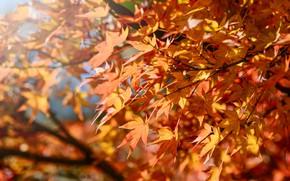 Picture autumn, leaves, colorful, maple, autumn, leaves, autumn, maple