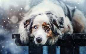Picture winter, look, face, snow, bench, nature, background, mood, Board, portrait, dog, paws, lies, snowfall, different …