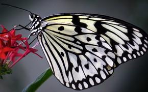 Picture flower, butterfly, The idea of levkonoe