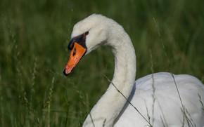 Picture white, grass, look, nature, bird, portrait, Swan, green background