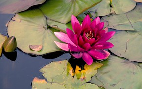 Picture flower, leaves, water, lake, pond, pink, Lily, pond, raspberry, Nymphaeum, water Lily
