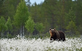 Picture forest, summer, look, face, trees, flowers, nature, pose, glade, bear, bear, birch, cotton, walk, white, …