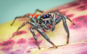 Picture macro, leaf, spider, jumper, blue-eyed, the Hoppy, Bouncing