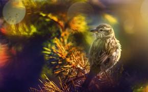 Picture nature, bird, branch, needles, bokeh