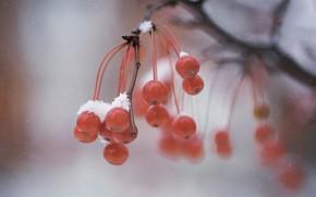 Picture winter, macro, berries