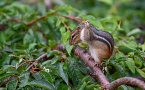 Picture branches, Chipmunk, animal