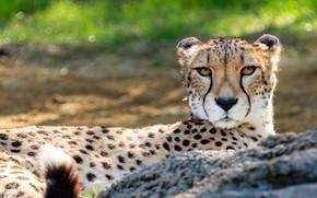 Picture grass, look, face, portrait, Cheetah, lies, bokeh
