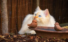 Picture cat, cat, look, kitty, the fence, portrait, bowl, fluffy, red, yard, lies, birds, kitty, blue …