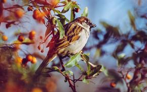 Picture leaves, berries, bird, blur, branch, Sparrow, bokeh