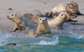 Picture sea, wave, squirt, shore, seal, bathing, company, Navy seal, friends, Navy seals, pinnipeds, seals